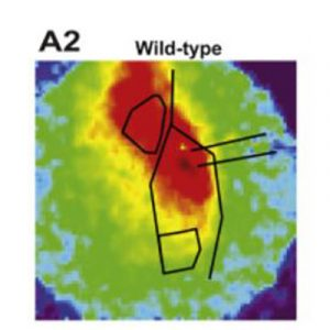New Mouse Model Points to Drug Target Potentially Useful for Increasing Social Interaction in Autism